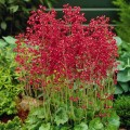 heuchera-coral-forest--.jpg