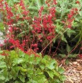 heuchera-coral-forest-.jpg