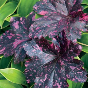 Żurawka Heuchera Midnight Rose Select
