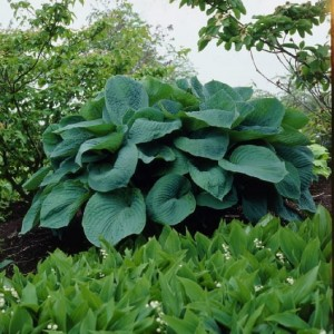 FUNKIA HOSTA BIG DADDY