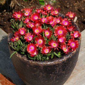Delosperma JEWEL of DESERT GRENADE