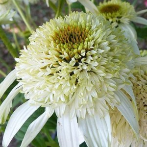 JEŻÓWKA ECHINACEA White Double Delight