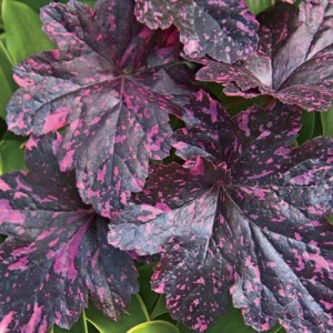 ŻURAWKA Midnight Rose Select Heuchera
