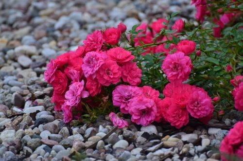 Róża Okrywowa Bardzo Obficie Kwitnie Zieloneogrody