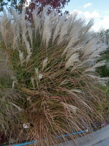 miscanthus-little-miss_.jpg